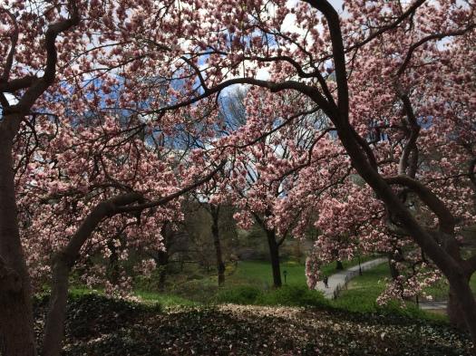 Magnoliaträden i blom i Central Park